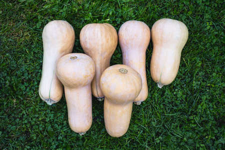 Butternut squash, Cucurbita moschata placed in a row on a green lawn Stock Photo - 15936818