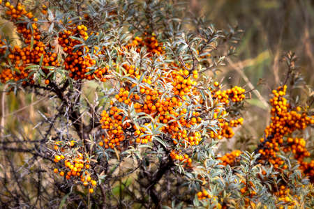 Sea buckthorn bush with many berries Stock Photo - 22546009