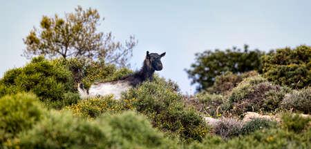 kreta: Wild black goat on Crete in Greece