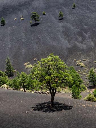 ponderosa pine: Sunset Crater Volcano National Monument lava flow, Arizona