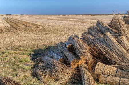 thatcher: Reeds for thatching sampled in big bundles