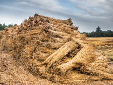 bundles: Reeds for thatching sampled in big bundles