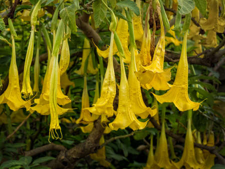Yellow Brugmansia or Angels Trumpets or Datura bunch of flowers sag from twig