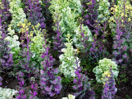 flowering kale: Ornamental Cabbage kale in a formal Garden Stock Photo