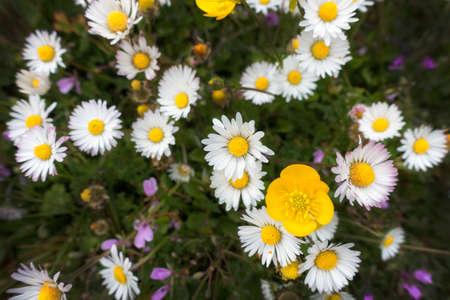 daisys: White daisies in nature