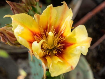 Opuntia cactus flower clear yellow