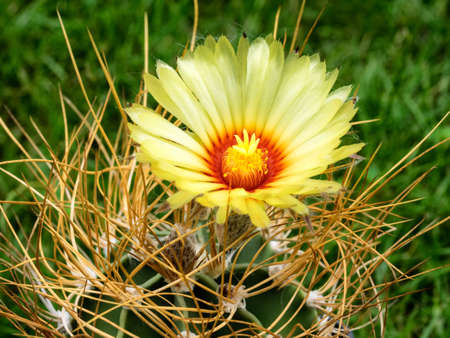 spines: Astrophytum capricorne cactus with yellow flower and long spines