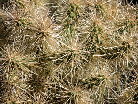 spiny: Spiny white Opuntia cactus cluster