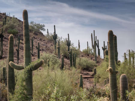 cholla: Saguaro cactee in a high desert, Arizona USA