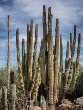 cholla: Tall cactee in a high desert, Arizona USA