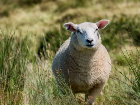 sheepfold: Lovely sheep in free nature in Ireland