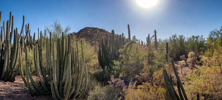 Saguaro cactee in a high desert, Arizona USA