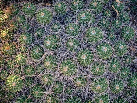 Echinocereus cacti close-up, Arizona, USA