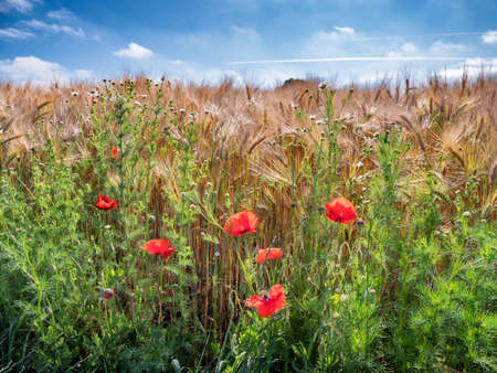 Barley and poppies in a Danish field