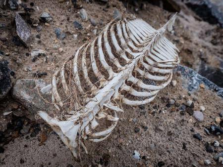 Porpoise skeleton at the beach in Lild, Denmark