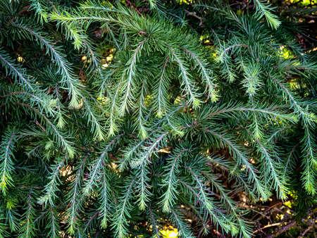 Pine leaves close-up, Denmark Zdjęcie Seryjne