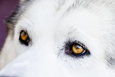 Yellow wolf eyes