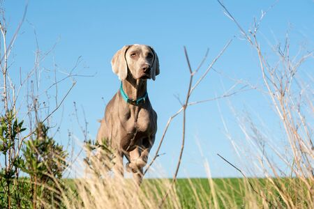 A weimaraner dog in the forest in a sunny day. The dog is behind some bushes.