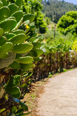 Cactus hedge along the way, Gran Canaria