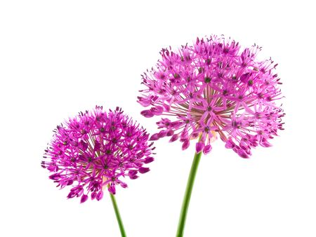 Allium Purple Sensation Flower photo