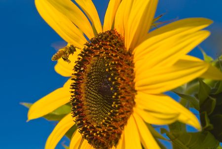 A Honeybee Coming in for a Landing on a Sunflower photo