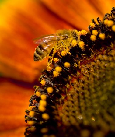 Bee on a Sunflower Stock Photo - 4245599