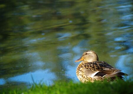 A brown duck hanging at the water's edge of a small pond. Stock Photo - 4292671