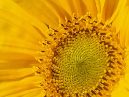 Yellow Sunflower with a bright greenish yellow center head. photo