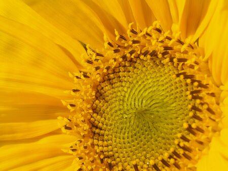 Yellow Sunflower with a bright greenish yellow center head. photo