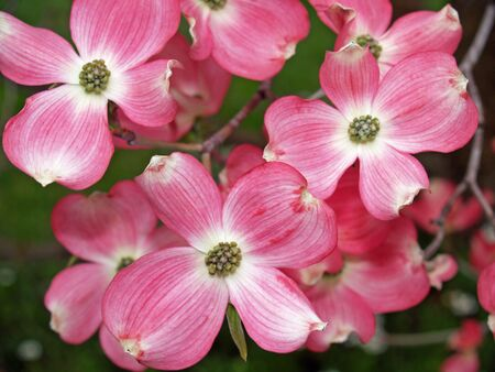 Close-ups of pink blooms adorning a Dogwood tree in spring. photo