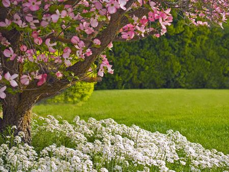 Pink blooms adorn a Dogwood tree in spring.