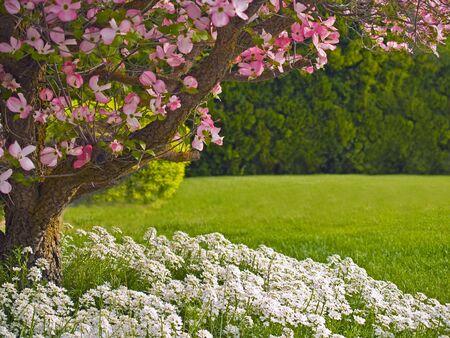 Roze bloemen versieren een kornoelje boom in het voorjaar.  Stockfoto