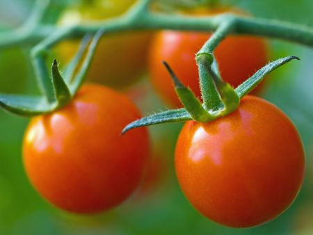 flavorful: Red, ripe tomatoes still on the vine awaiting to be harvested. Stock Photo