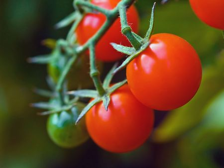 Red, ripe tomatoes still on the vine awaiting to be harvested. Stock Photo