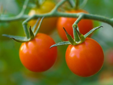 Red, ripe tomatoes still on the vine awaiting to be harvested. Stockfoto