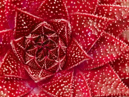 Succulent cactus macro with vivid texture and color; great for desert backgrounds. photo