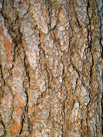 Tree evergreen bark texture background at sunset
