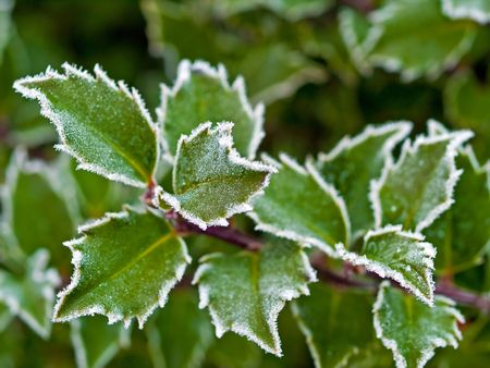 Frost covered holly leaves at the beginning of winter