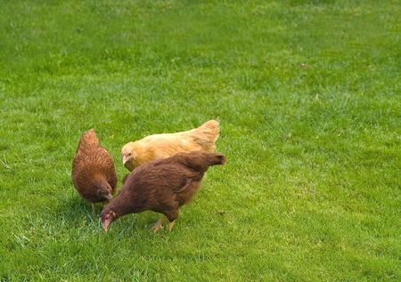 A group of three free range chickens on green grass photo