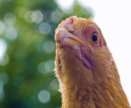 CLose up portraits of free range chickens  Stock Photo