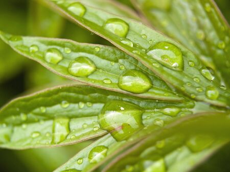 Water drop close-up on a Peone Plant