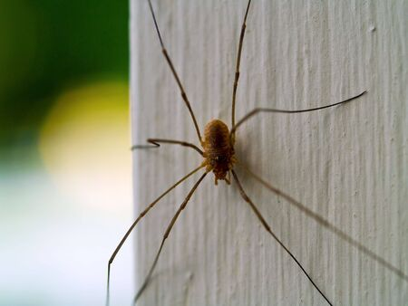 daddy longlegs: A daddy longleg spider macro close up Stock Photo