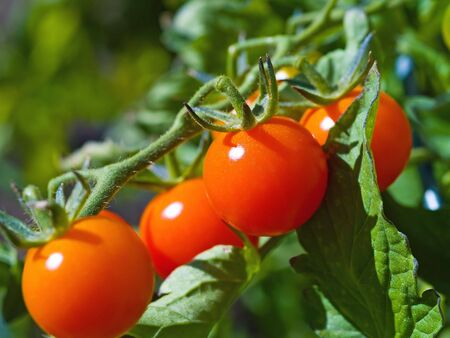 ripened: Red ripe tomatoes on the vine in full sunlight Stock Photo