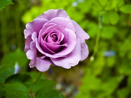 Purple rose blooming in a garden setting