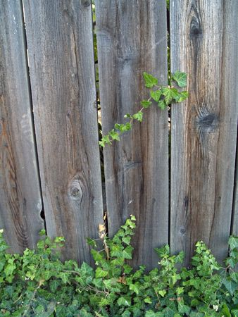 Green ivy growing up a wooden fence photo