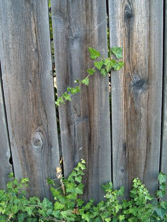 Green ivy growing up a wooden fence Stock Photo - 6271859