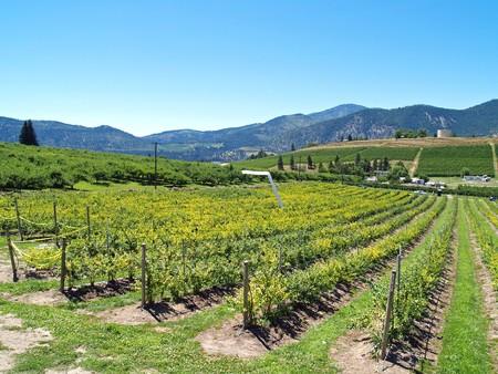 Rows of Grape Vines on a Mountain Vineyard photo
