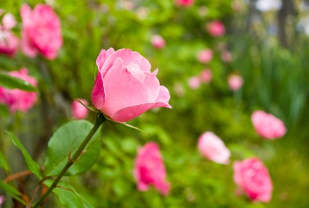 Pink Rose on the Branch in the Garden photo