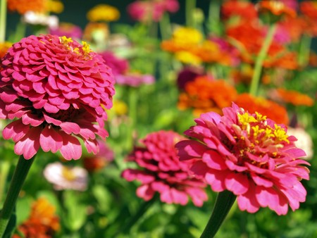 tradional: A Garden of Multi-Colored Marigolds in Full Bloom