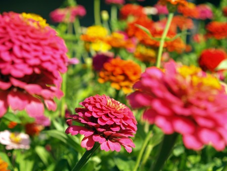 A Garden of Multi-Colored Marigolds in Full Bloom